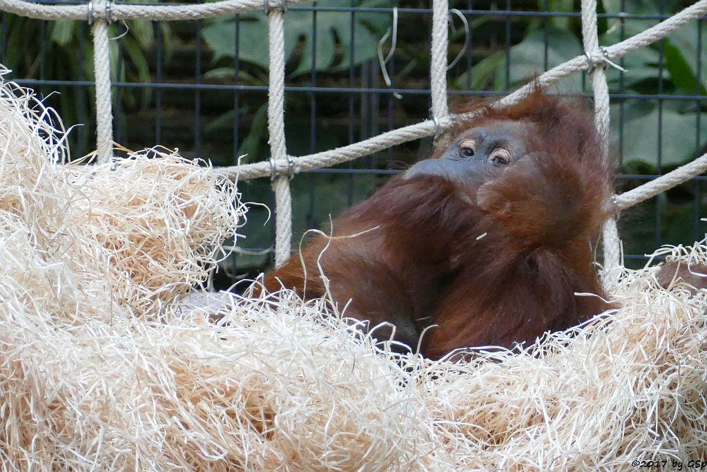 Sumatra-Orang-Utan KILA mit Sohn OMBAK, geb. am 4.3.17