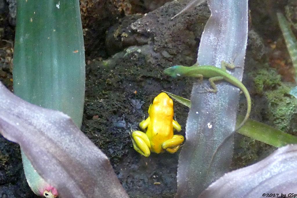 Goldener Pfeilgiftfrosch (Schrecklicher Pfeilgiftfrosch), St.-Vincent-Anolis