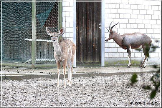 Großer Kudu und Blessbock