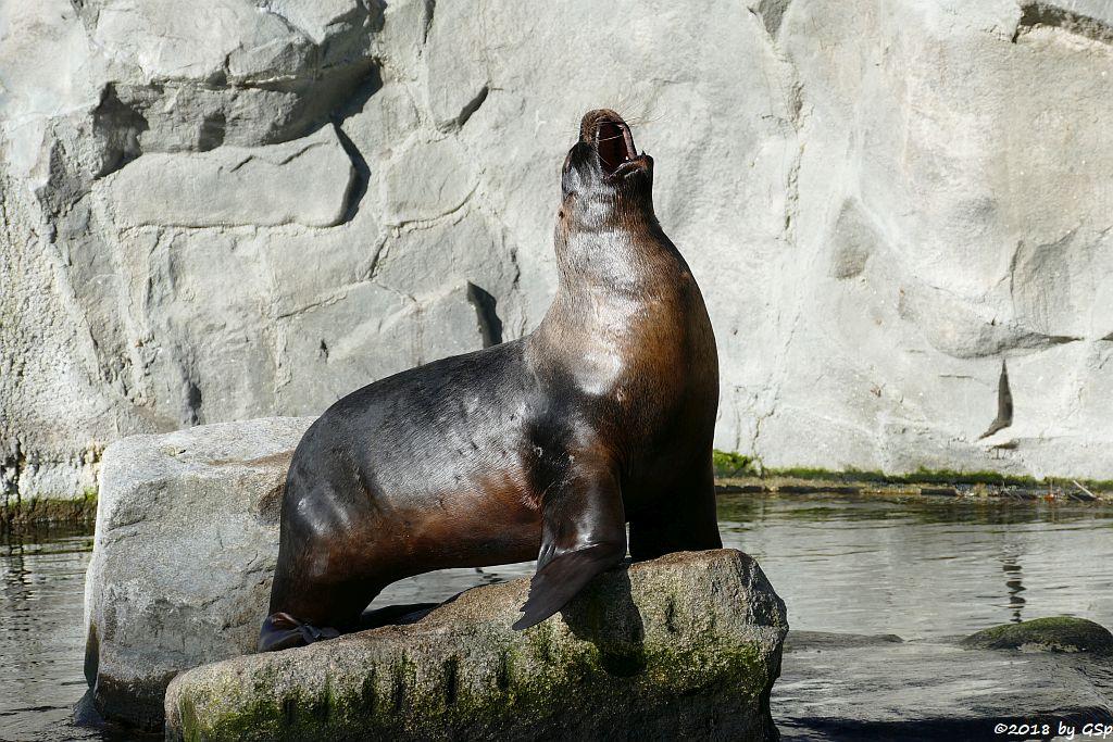 Mähnenrobbe (Südamerikanischer Seelöwe)
