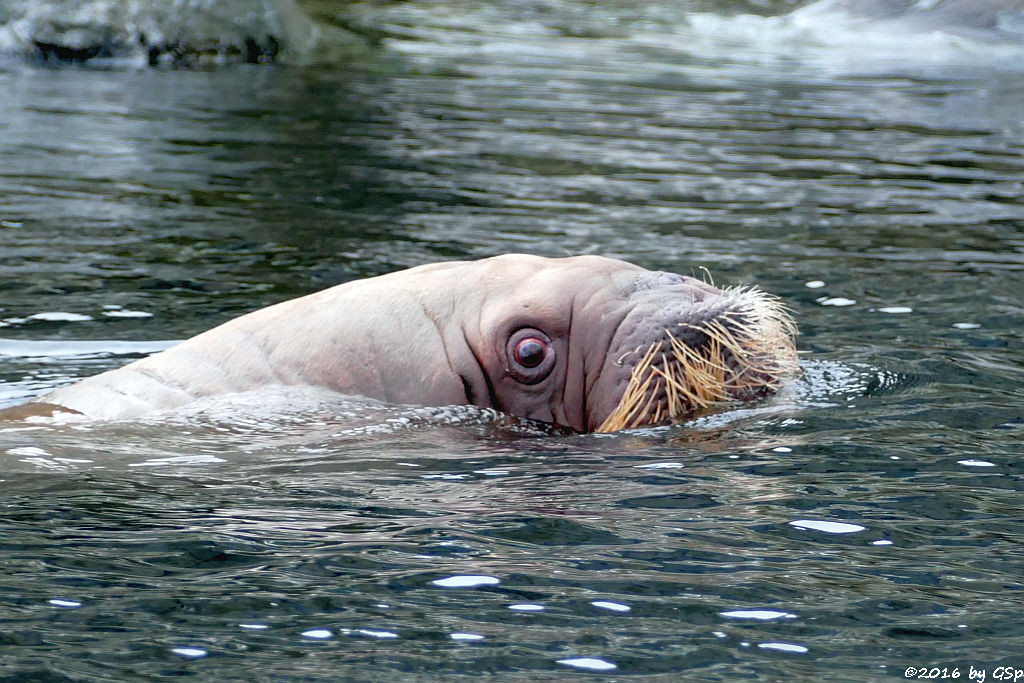 Pazifisches Walross THOR