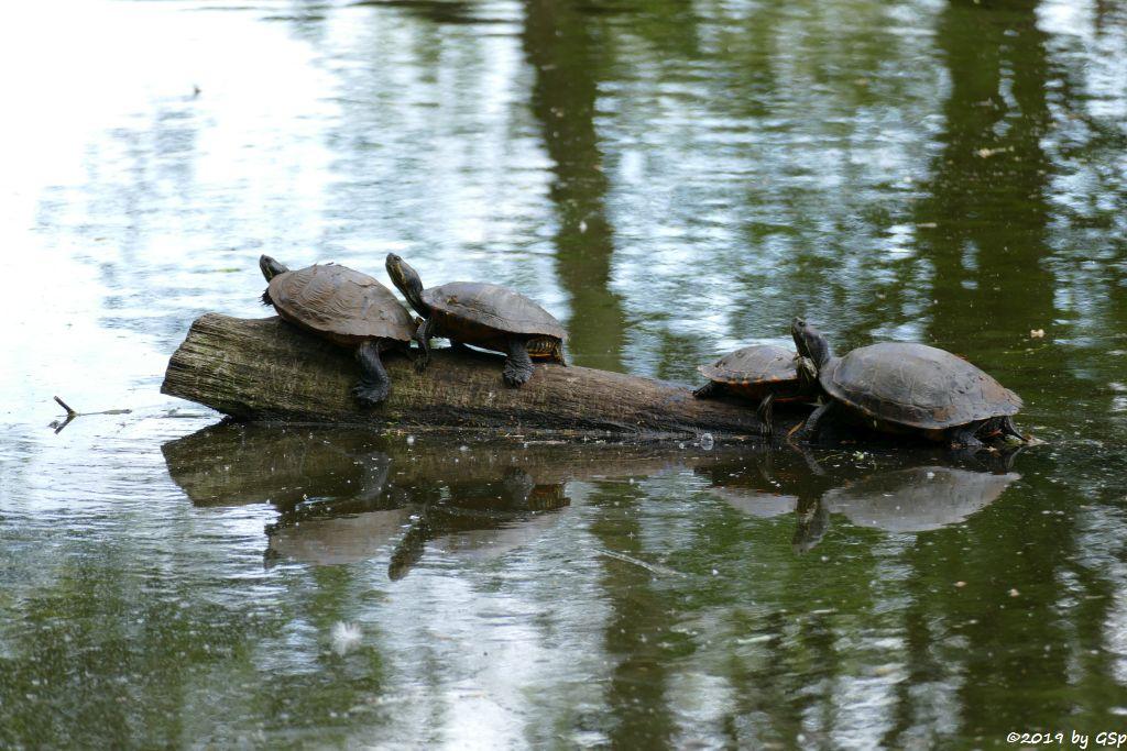 Gelbwangen- und Rotwangen-Schmuckschildkröte