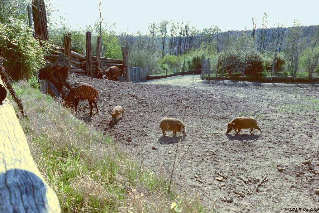 Östlicher Bongo (Kenia-Bongo, Bergbongo), Pinselohrschwein (Rotes Flussschwein)