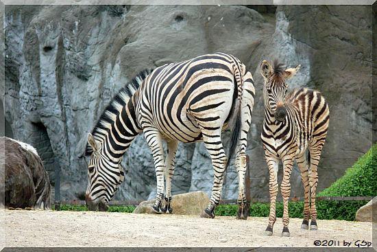 Chapman-Zebra, Jungtier geb. am 1.4.11
