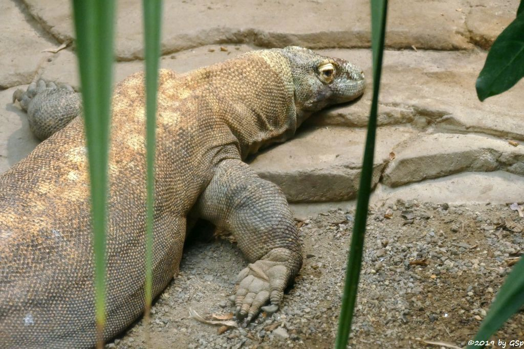 Komodowaran (Komododrache)