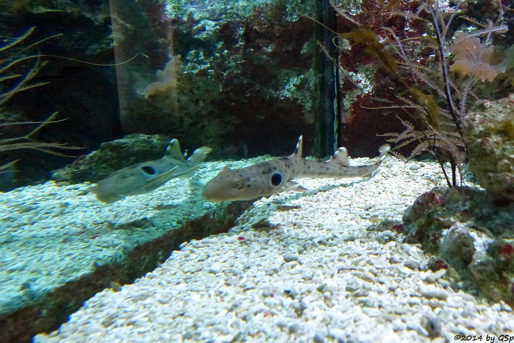 Epaulettenhai