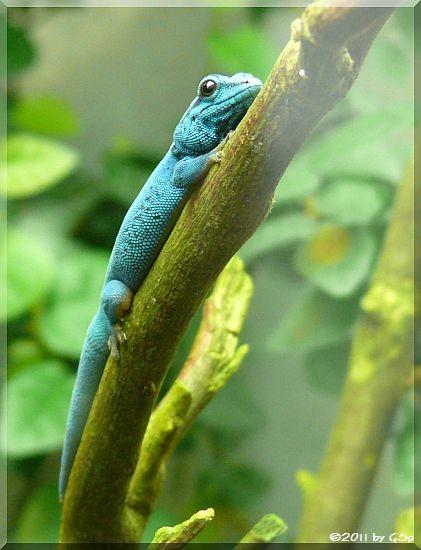 Türkis-Gecko