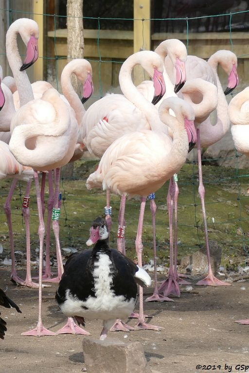 Helle Sporngans (Ostafrikanische Sporengans), Rosaflamingo (Europäischer Flamingo)