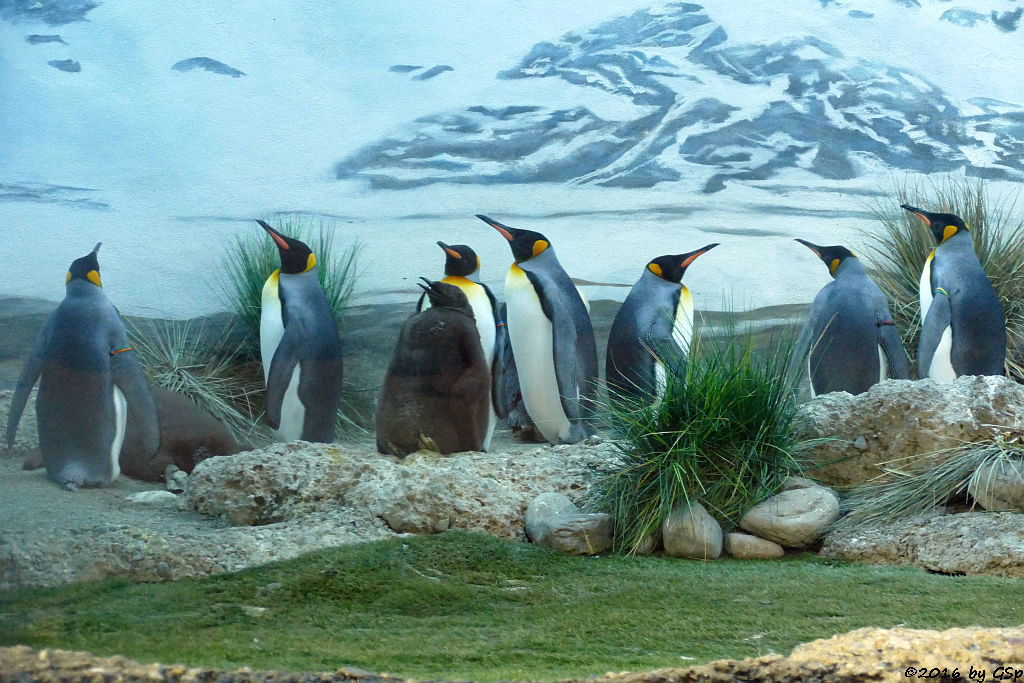 Königspinguin, Jungtiere geschlüft Mitte und Ende Juli 2016