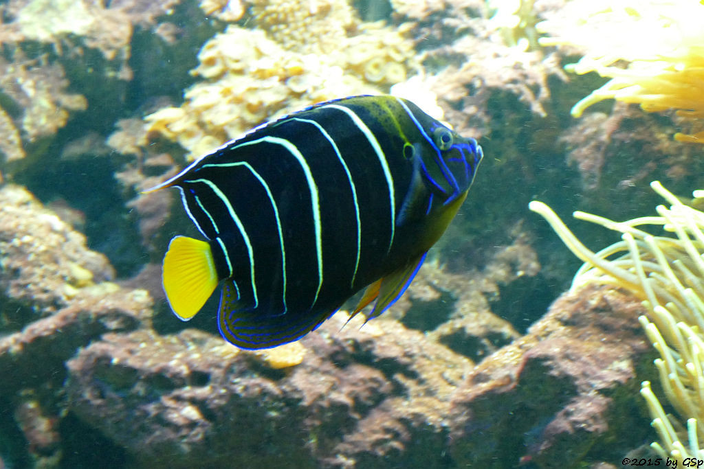 Gelbschwanz-Kaiserfisch