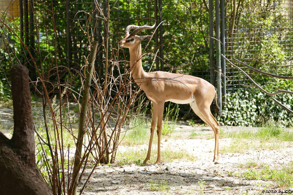 Südliche Giraffengazelle (Südliche Gerenuk)