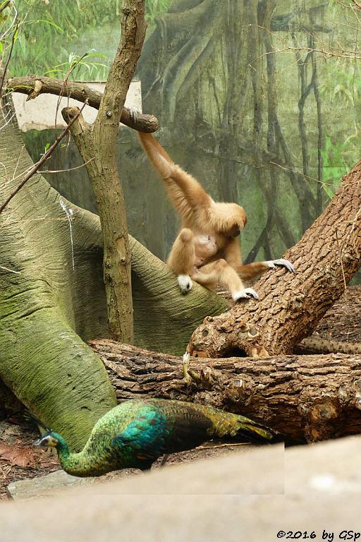 Weißhandgibbon, Indochina-Ährenträgerpfau (Vietnam-Ährenträgerpfau