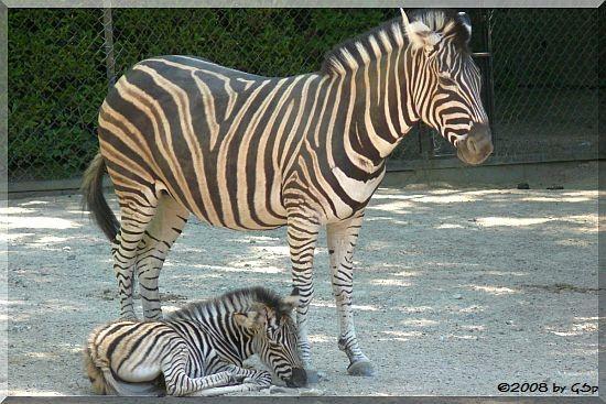 Chapman-Zebra Vicky m. Hengstfohlen, geb. 7.5.08 (1 Woche alt)
