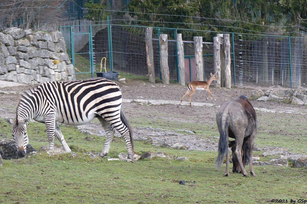 Böhm-Steppenzebra (Grant-Zebra), Impala (Schwarzfersenantilope), Südliches Streifengnu (Blaues Gnu)