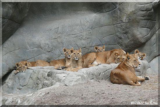 Afrikanischer Löwe Tambesi und Kabora mit den Jungtieren Naju, Nawiri, Nelson, Nibalo und Tawanga, geb. 13.8.06 (9 Monate alt)