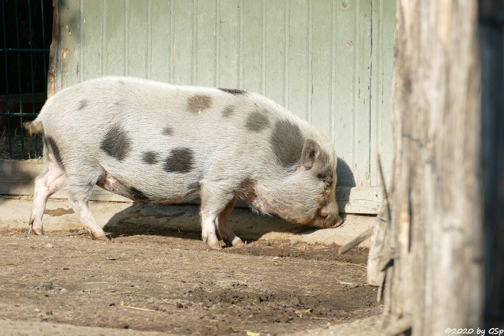 Minipig (Zwergschwein, Minischwein)