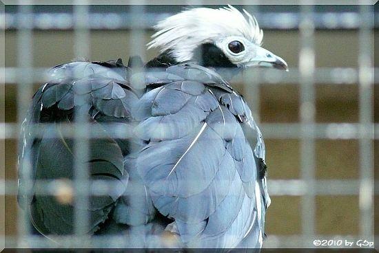 Blauklehlguan