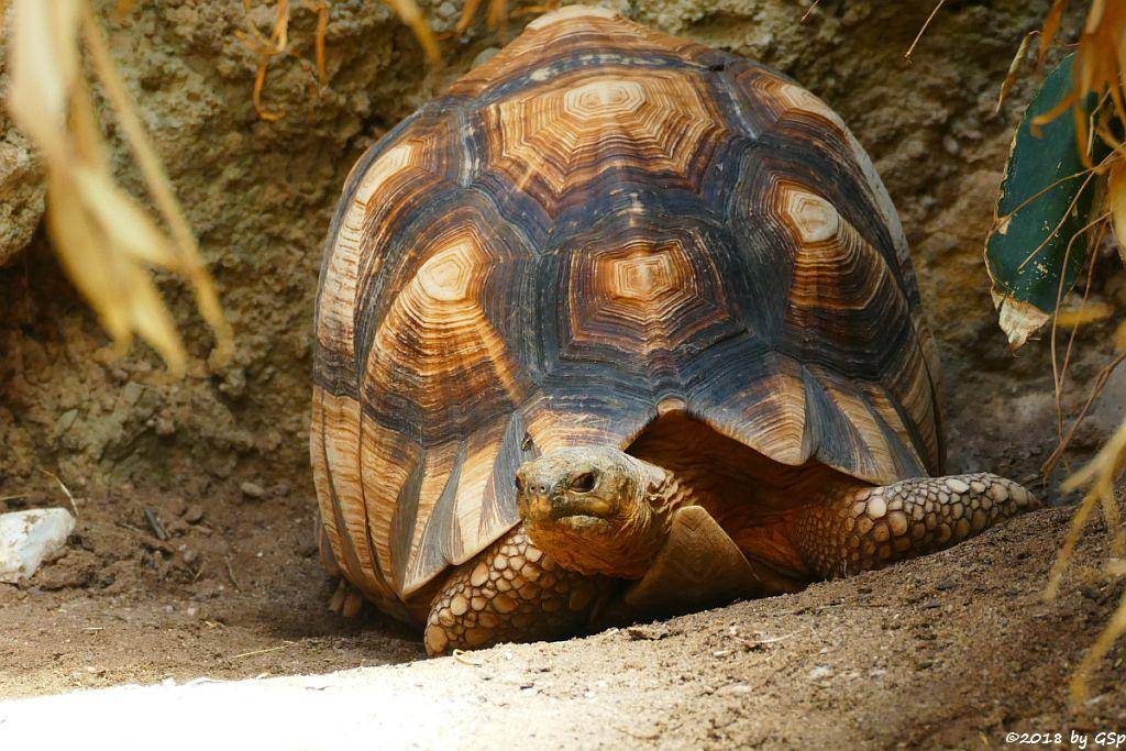 Madagassische Schnabelbrustschildkröte