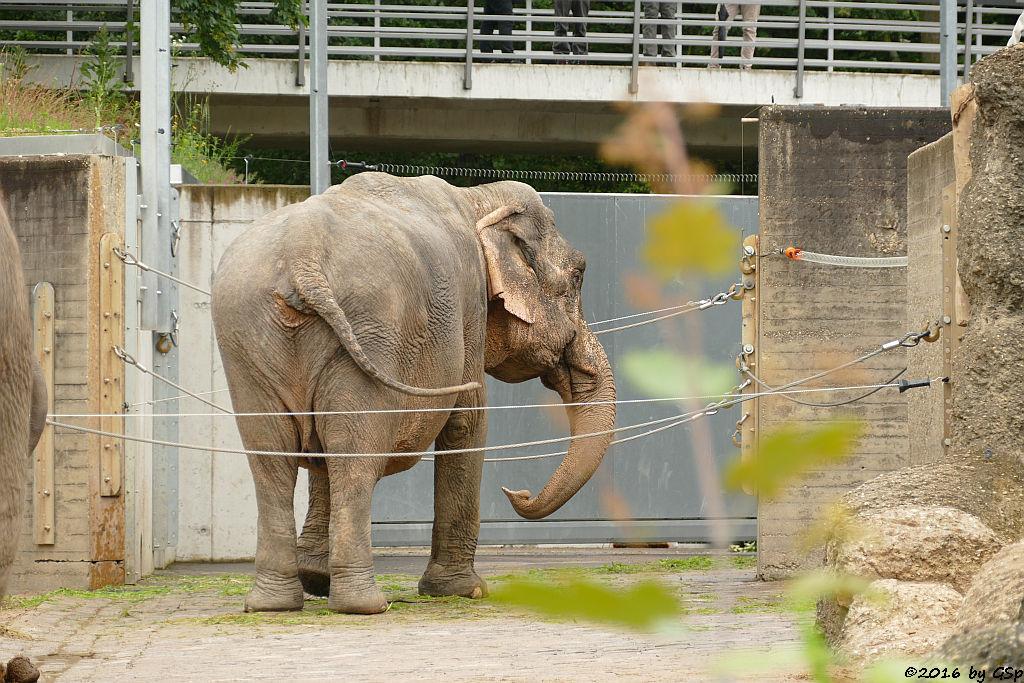 Asiatischer Elefant NANDA