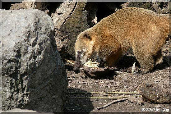 Roter Nasenbär