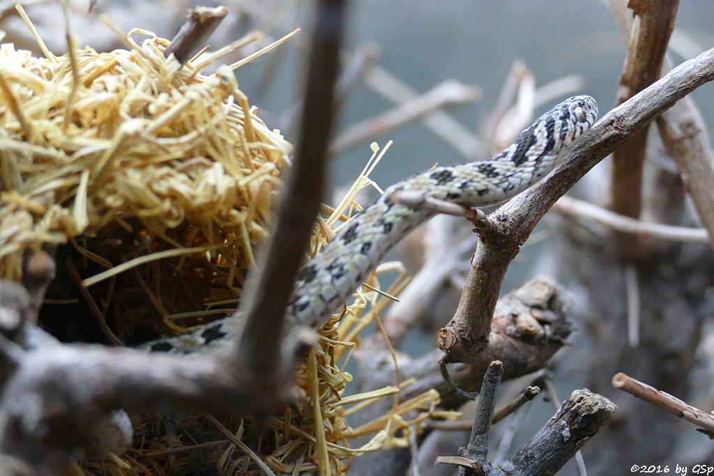 Afrikanische Eierschlange (Gewöhnliche Eierschlange)