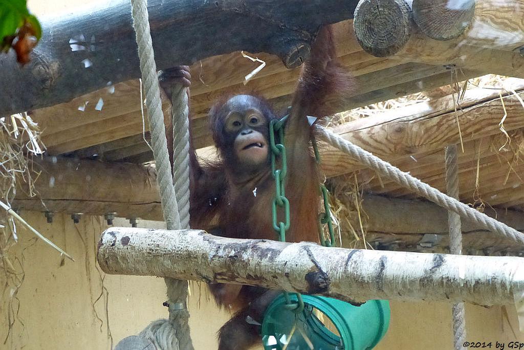 Bornoe-Orang-Utan CINTA