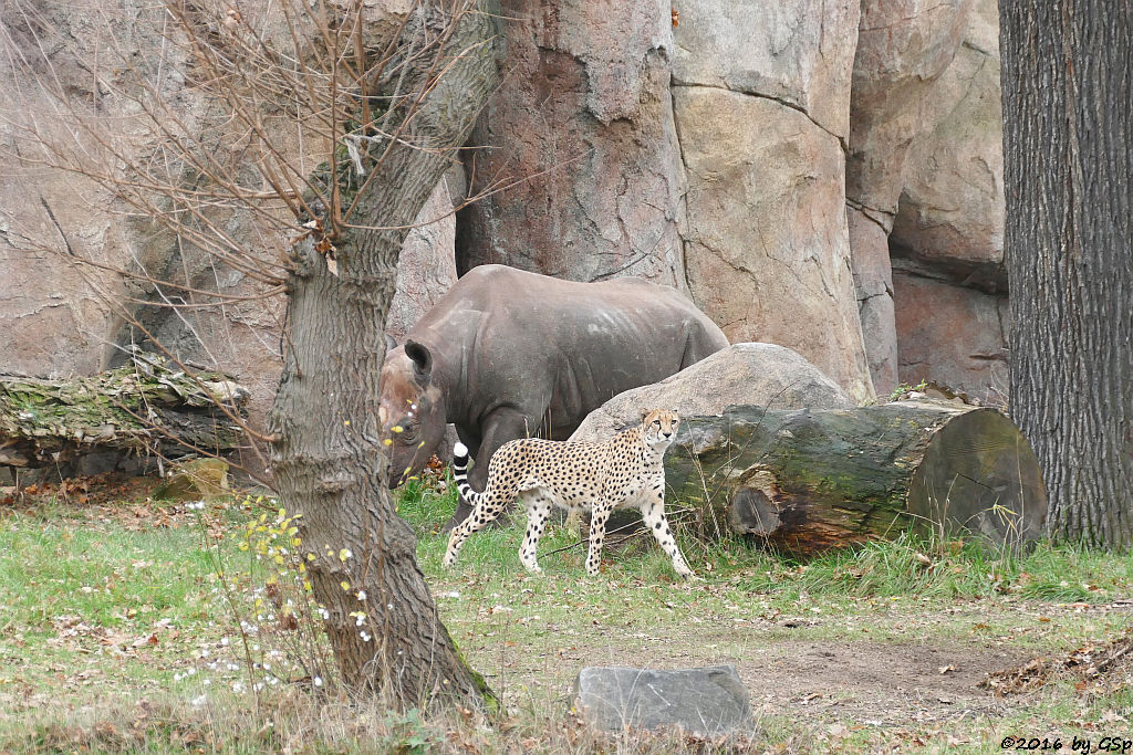 Südafrikanischer Gepard, Ostafrikanisches Spitzmaulnashorn (Östliches Spitzmaulnashorn)