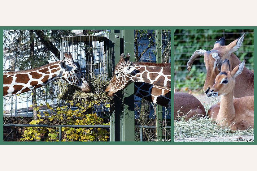 Netzgiraffen und Impalas - 59 Fotos