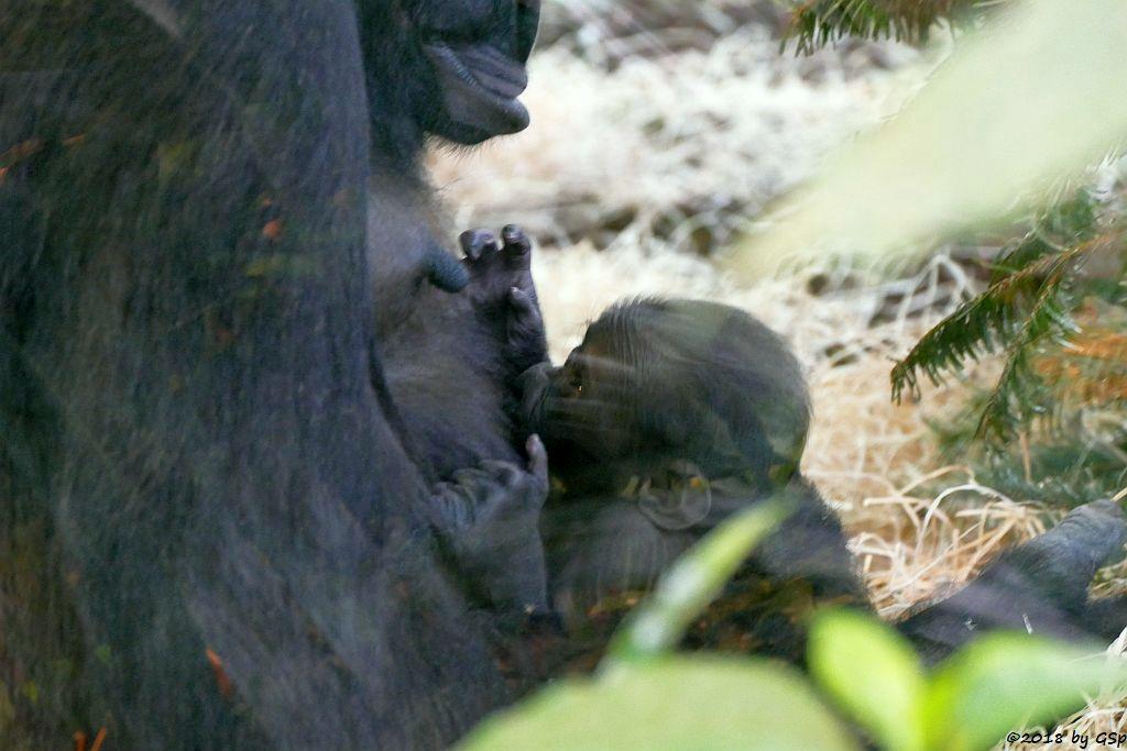 Flachlandgorilla TUANA mit Jungtier, geb. 11.1.18 (2 Wochen alt)