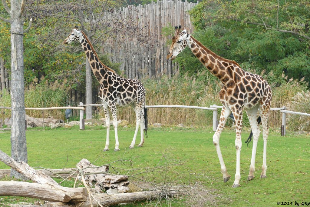 Marabu (Afrikanischer Marabu, Rothschildgiraffe (Uganda-Giraffe, Baringo-Giraffe)