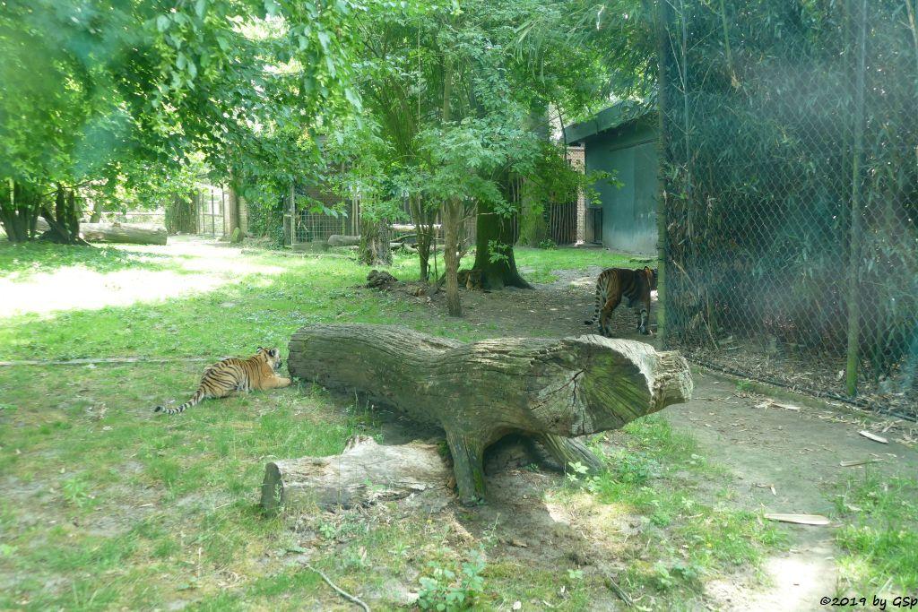 Sumatratiger, Jungtiere geb. am 8.1.19 (weitere Fotos in sep. Galerie)