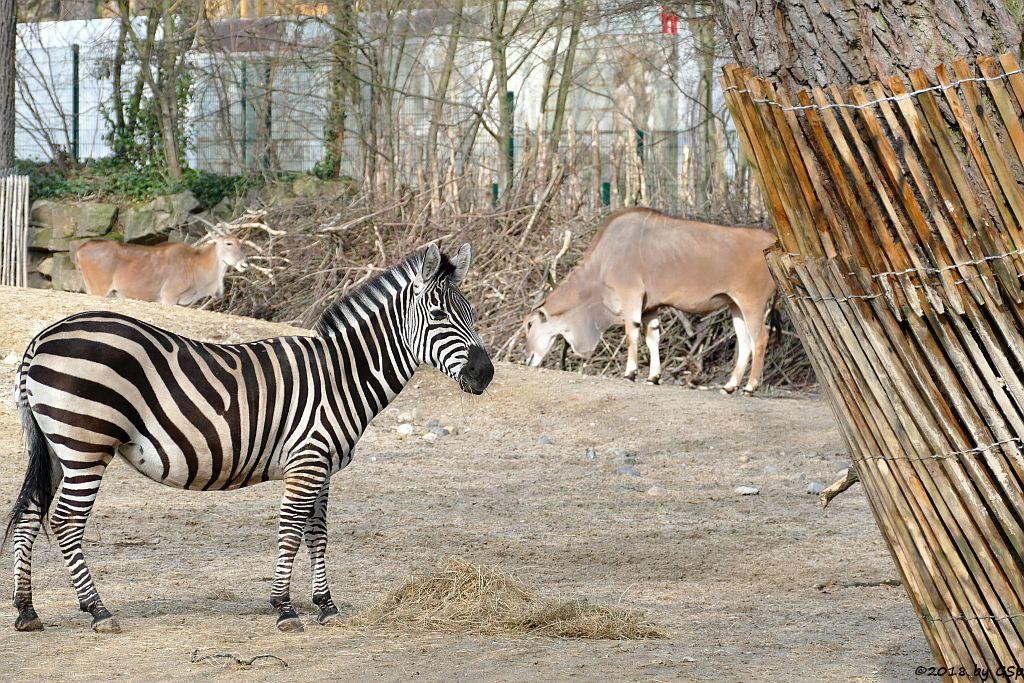 Böhm-Steppenzebra (Grant-Zebra), Elenantilope