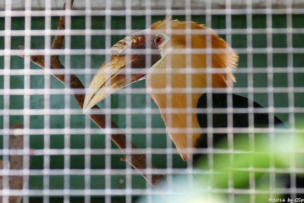 Papua-Hornvogel