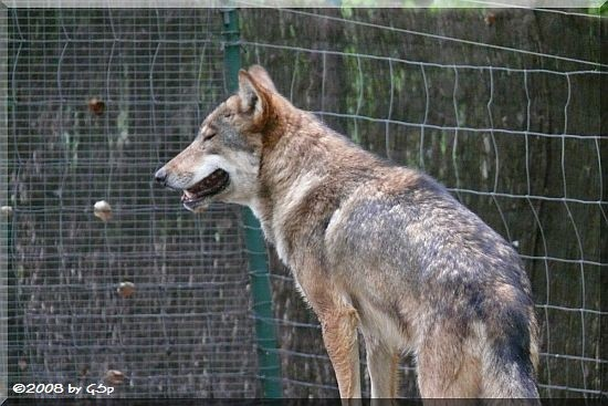 Wolf im Wolfswald