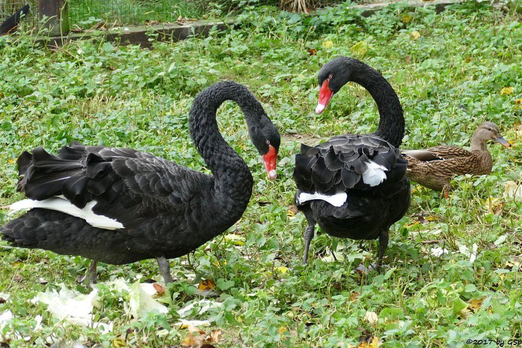 Schwarzer Schwan (Trauerschwan, Schwarzschwan)