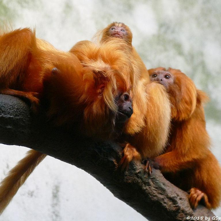 Goldgelbes Löwenäffchen, Jungtier geb. am 28.3.15 (13 Tage)