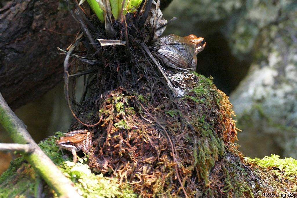 Siamesischer Braunfrosch