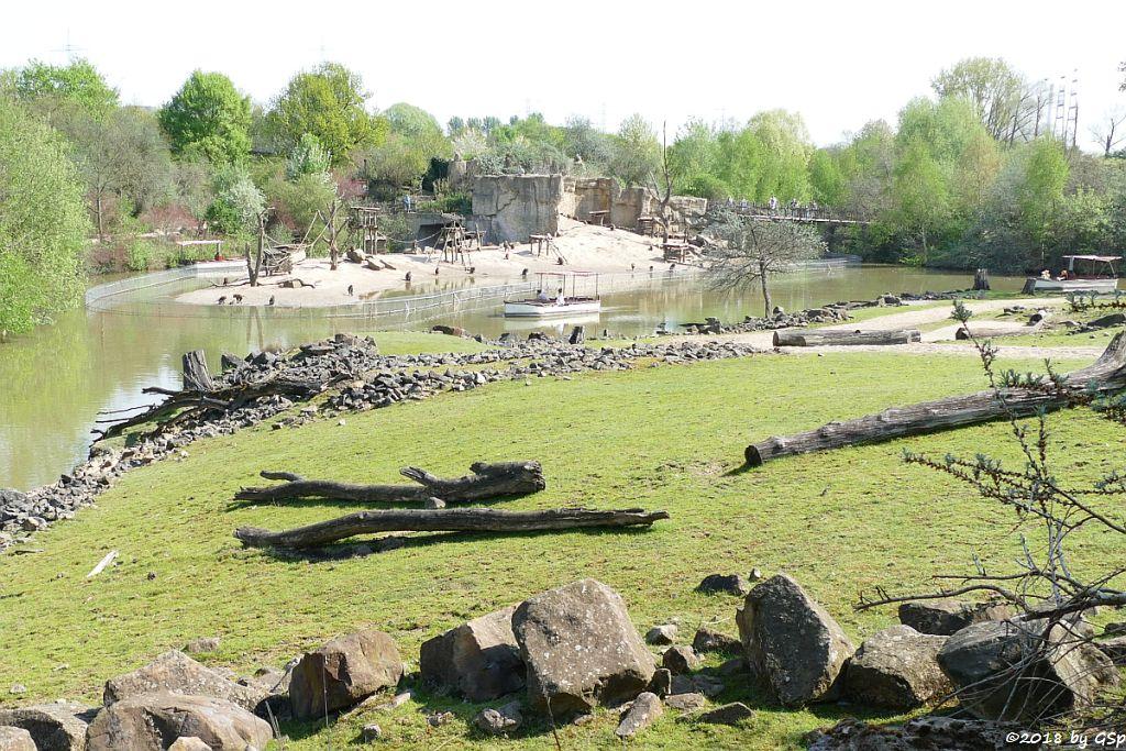 Anubis-Pavian (Grüner Pavian)