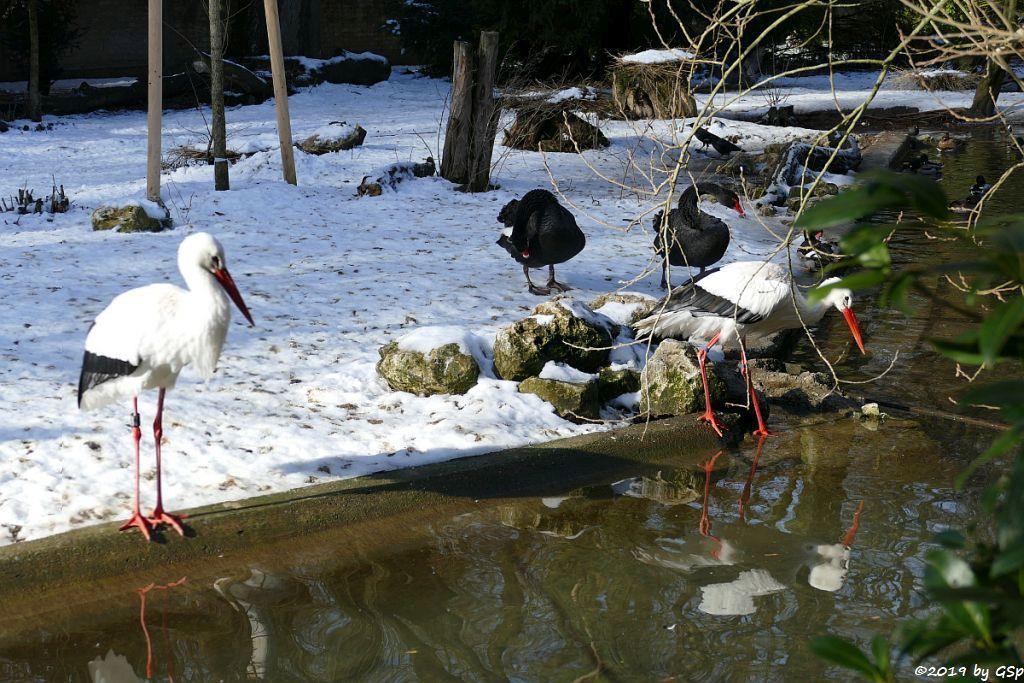 Weißstorch, Schwarzschwan (Trauerschwan)