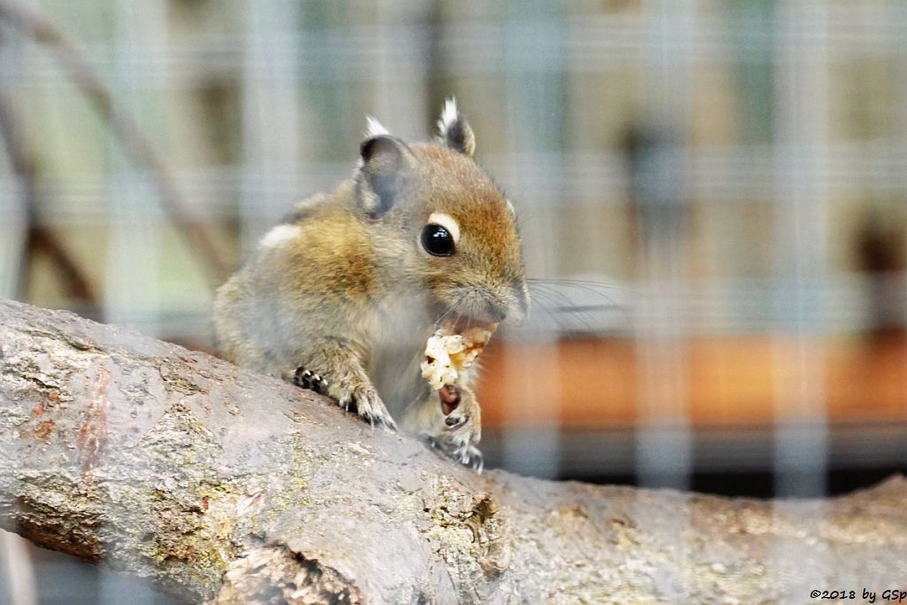 Chinesisches Zwergstreifenhörnchen (Chin. Baumhörnchen, Swinhoe-Zwergstreifenhörnchen)