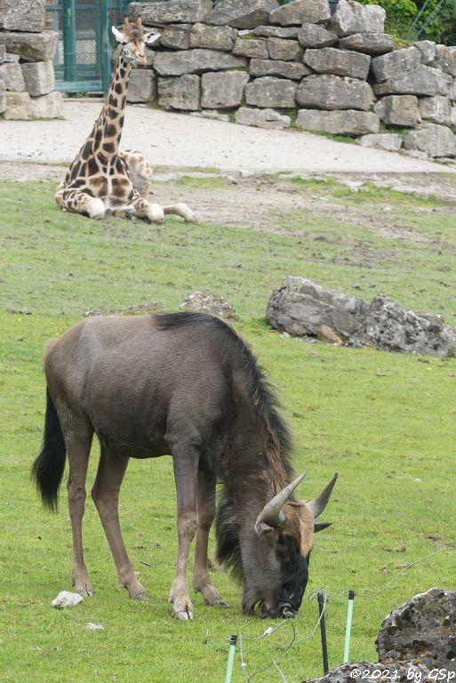 Südliches Streifengnu (Blaues Gnu), Rothschildgiraffe (Uganda-Giraffe, Baringo-Giraffe)
