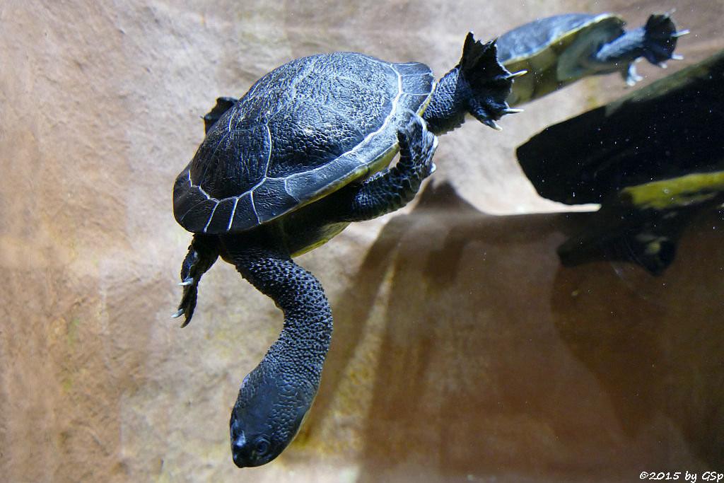 Parker's Schlangenhalsschildkröte
