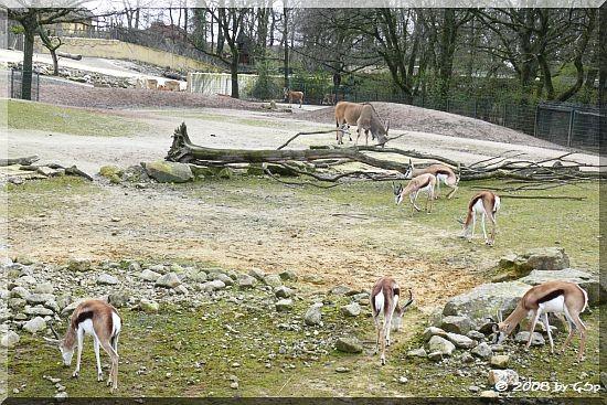 Elenantilope und Springbock in der Grassavanne