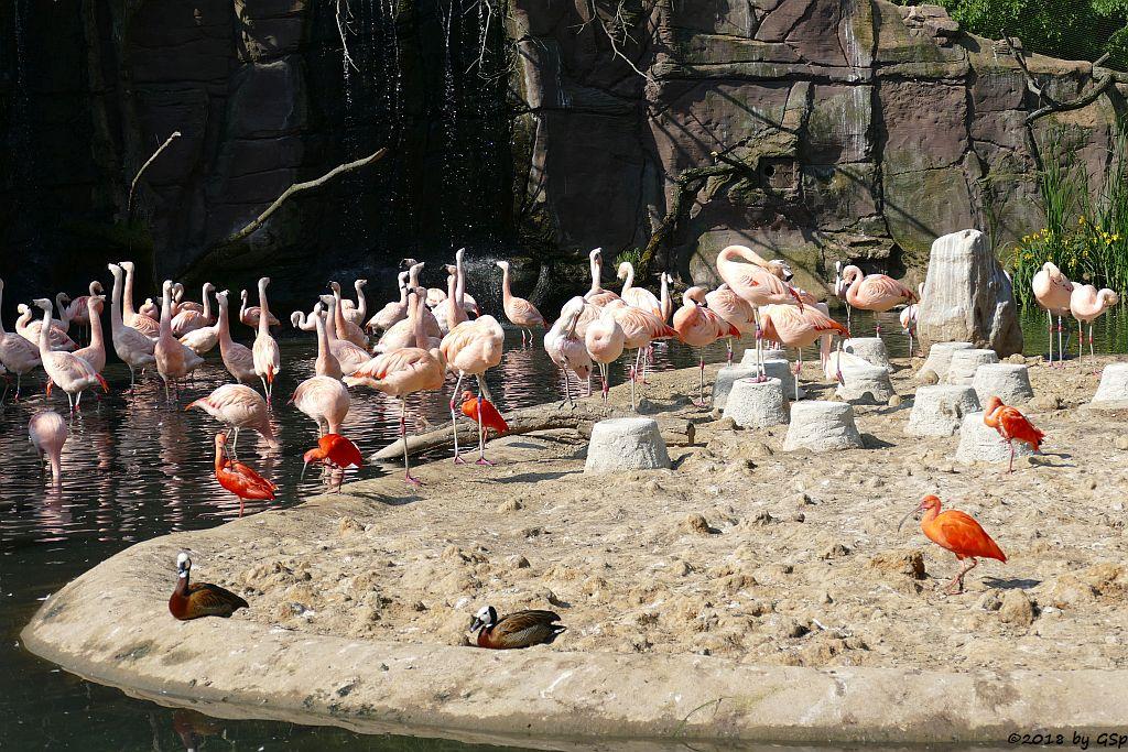 Chileflamingo (Chilenischer Flamingo), Witwenpfeifgans (Witwenente, Witwenpfeifente), Roter Sichler (Scharlachsichler, Rotibis)