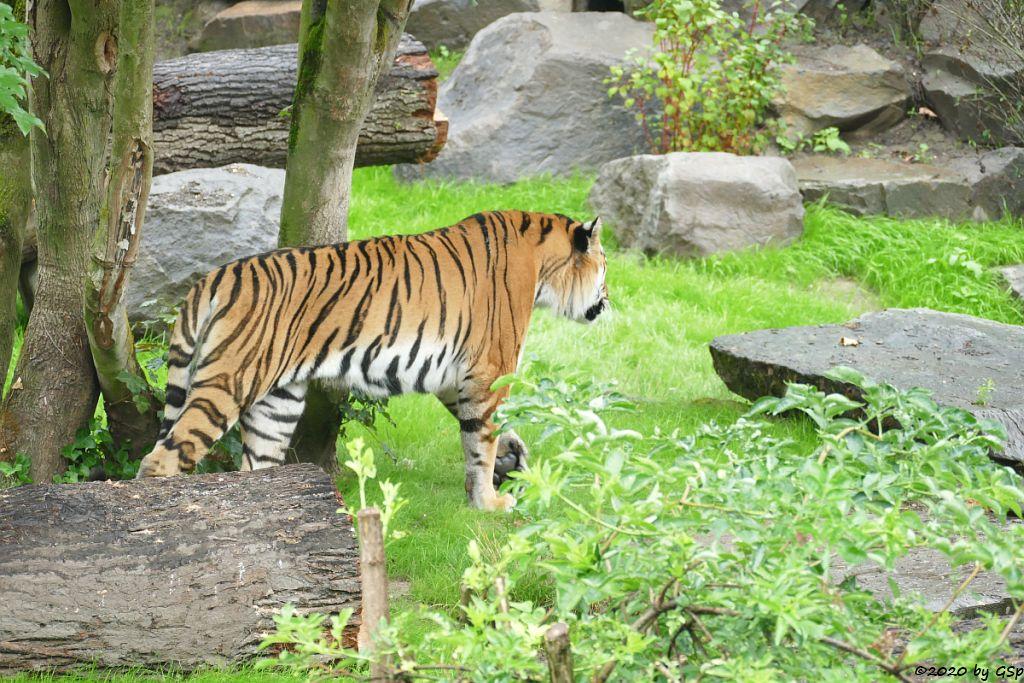 Sibirischer Tiger SERGAN