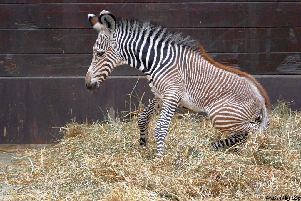 Grévy-Zebra TROPI , geb. am 21.11.17