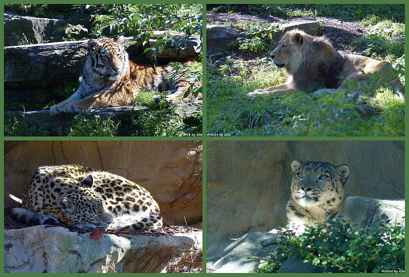 "Großkatzen (Fotos auf Unterseite ""Großkatzen"""