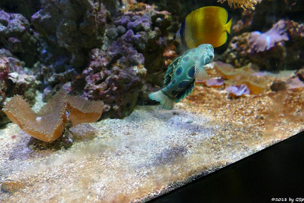 Clown-Zwergleierfisch (LSD-Mandarinfisch, Gemalter Leierfisch), Braungelber Falterfisch (Weißpunkt-Falterfisch, Kleins Falterfisch)