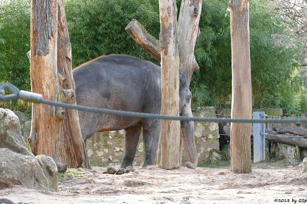 Asiatischer Elefant PAMA