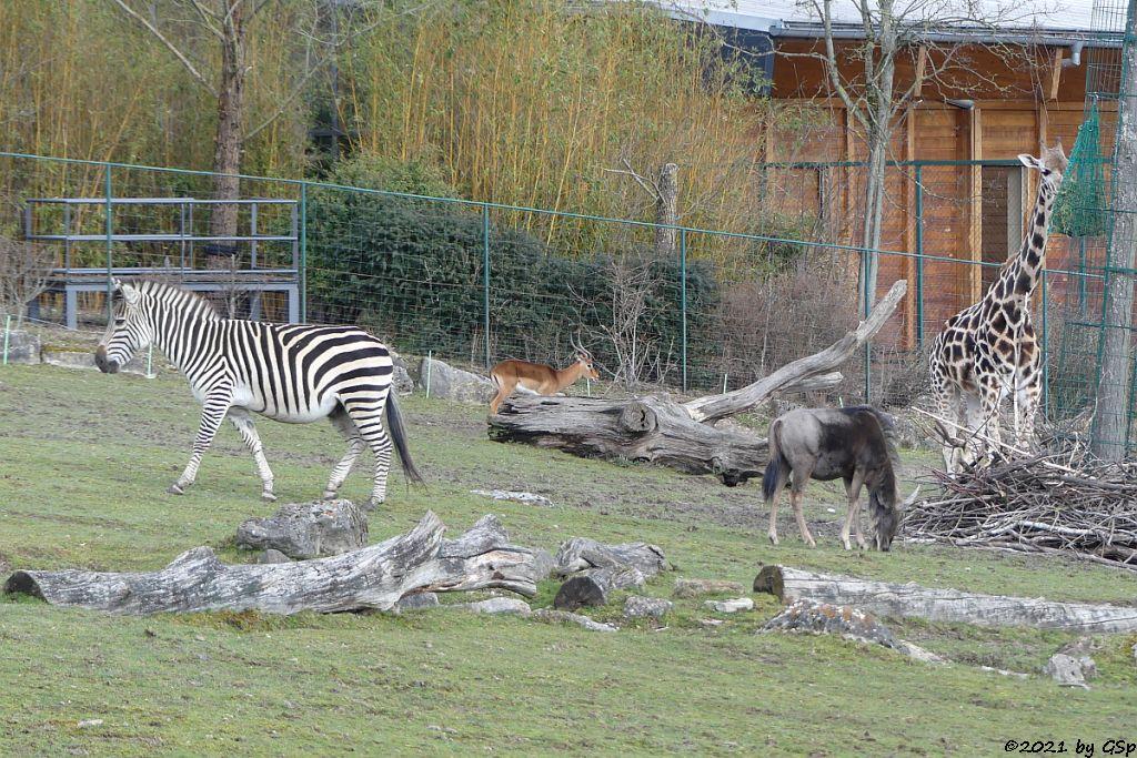Böhm-Steppenzebra (Grant-Zebra), Impala (Schwarzfersenantilope), Südliches Streifengnu (Blaues Gnu), Rothschildgiraffe (Uganda-Giraffe, Baringo-Giraffe)